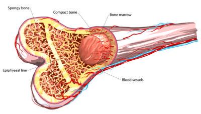 bone-marrow-e1579527478590.jpg
